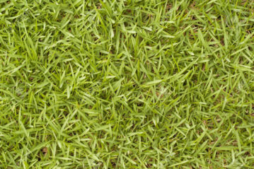 Bermuda Grass.