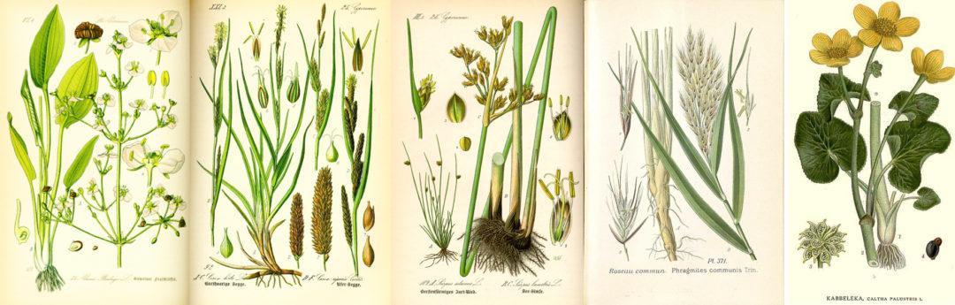 Alcune piante adoperate per la fitodepurazione, nelle immagini di stampe d'epoca (clicca per ingrandire). Da sinistra: alisma plantago aquatica; carex riparia; scirpus setaceus; phragmites australis; caltha palustris.